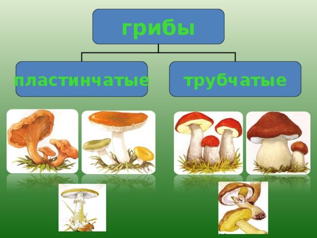 грибы пластинчатые трубчатые