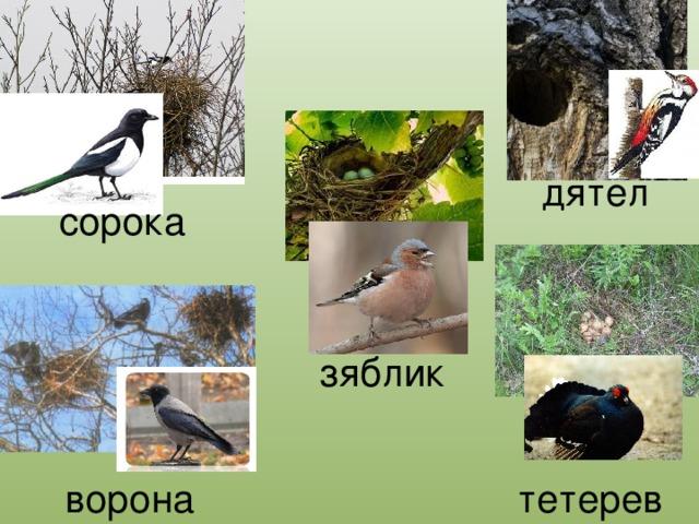 дятел сорока зяблик ворона тетерев