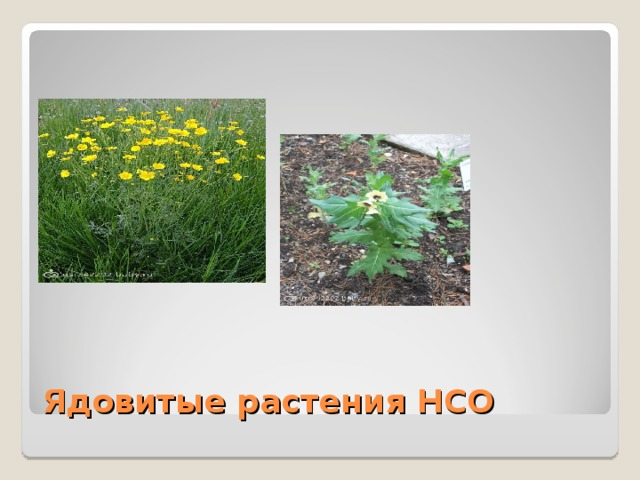 Ядовитые растения НСО
