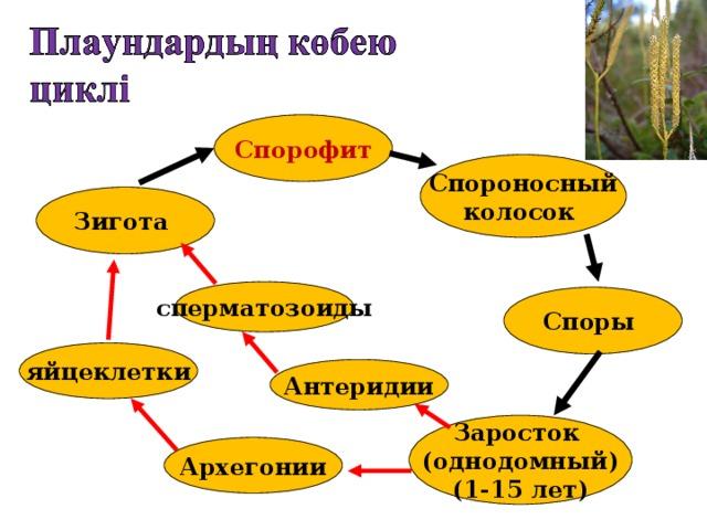 Спорофит  Спороносный колосок  Зигота сперматозоиды Споры яйцеклетки Антеридии Заросток (однодомный) (1-15 лет) Архегонии