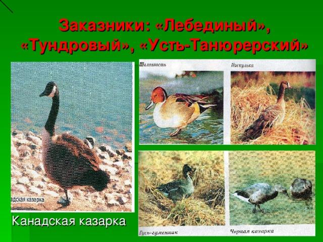 Заказники: «Лебединый», «Тундровый», «Усть-Танюрерский» Канадская казарка