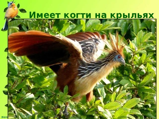 Имеет когти на крыльях  ГОАЦИН Размер птицы около 60 см, имеет большие крылья, но летает плохо. Имеет когти на крыльях, только в детстве.