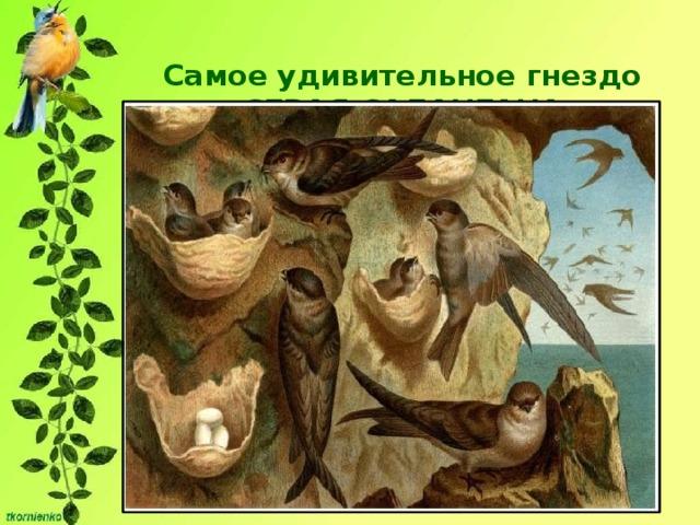 Самое удивительное гнездо  СЕРАЯ САЛАНГАНА   Гнездо целиком построено из загустевающей на воздухе слюны птицы. Целых сорок дней она создает в пещере свое удивительное гнездо- чашечку. К сожалению, эти гнезда, по мнению многих гурманов, очень вкусны.