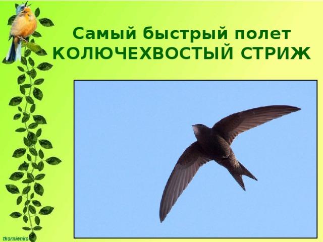 Самый быстрый полет  КОЛЮЧЕХВОСТЫЙ СТРИЖ До 170 км/ч, почти всю свою жизнь проводят в воздухе, на лету они не только кормятся, но даже и спят.