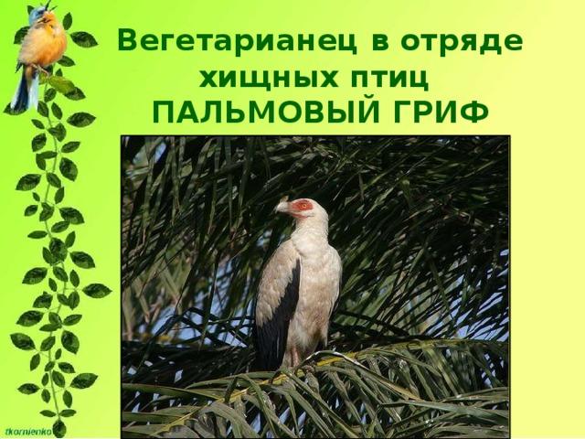 Вегетарианец в отряде хищных птиц  ПАЛЬМОВЫЙ ГРИФ   Предпочитает мякоть маслянистых орехов масличной и винной пальм.