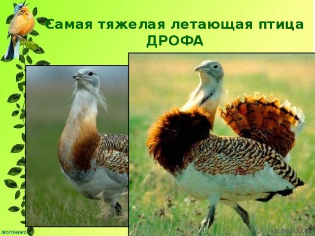 Самая тяжелая летающая птица  ДРОФА Крупные самцы могут весить 16 и даже 18 кг.