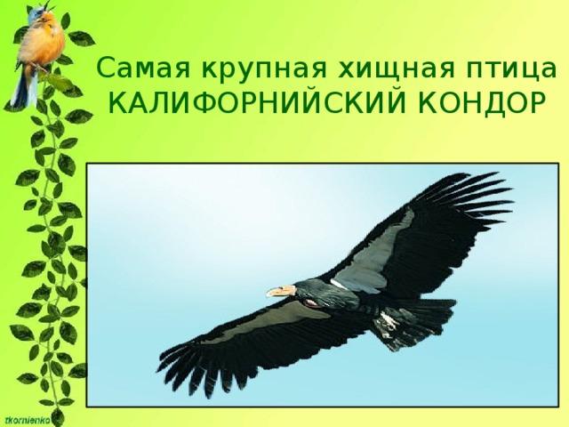 Самая крупная хищная птица  КАЛИФОРНИЙСКИЙ КОНДОР Масса его тела достигает 12 кг, а размах крыльев – 2,8 м. Продолжительность жизни кондора - одна из самых больших. Одна особь этого вида прожила в неволе целых 72 года!