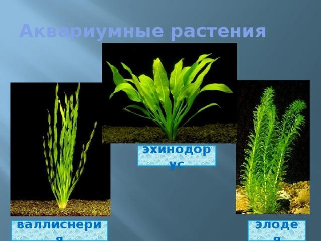 Аквариумные растения эхинодорус элодея валлиснерия