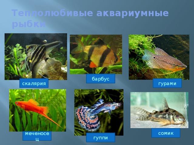 Теплолюбивые аквариумные рыбки барбус гурами скалярия сомик меченосец гуппи