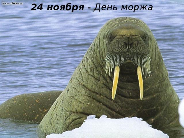 24 ноября - День моржа