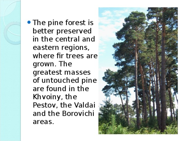 The pine forest is better preserved in the central and eastern regions, where fir trees are grown. The greatest masses of untouched pine are found in the Khvoiny, the Pestov, the Valdai and the Borovichi areas.