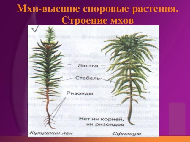 Мхи-высшие споровые растения.  Строение мхов