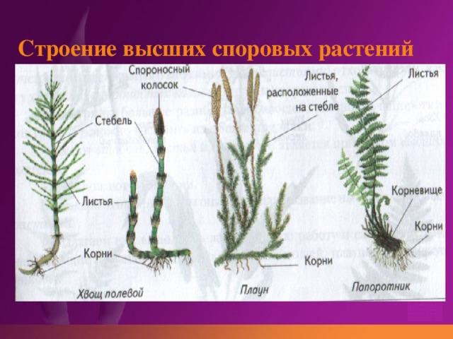 Строение высших споровых растений