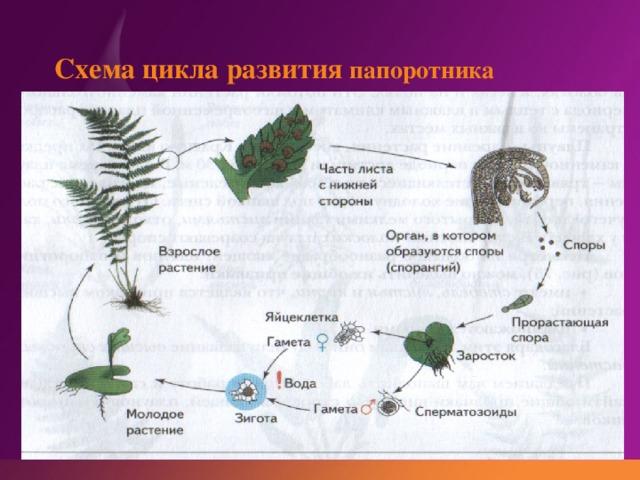 Схема цикла развития папоротника