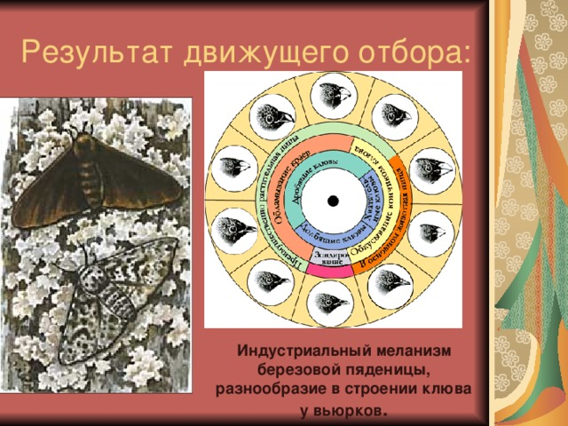 Результат движущего отбора: Индустриальный меланизм березовой пяденицы, разнообразие в строении клюва у вьюрков .