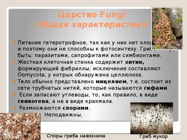 Царство Fungi  Общая характеристика Питание гетеротрофное, так как у них нет хлорофилла, и поэтому они не способны к фотосинтезу. Грибы могут быть: паразитами, сапрофитами или симбионтами. Жесткая клеточная стенка содержит хитин, формирующий фибриллы; исключение составляют Oomycota, у котрых обнаружена целлюлоза. Тело обычно представлено мицелием , т.е. состоит из сети трубчатых нитей, которые называются гифами .  Если запасают углеводы, то, как правило, в виде гликогена , а не в виде крахмала.  Размножаются спорами .  Неподвижны. Споры гриба навозника Гриб мукор