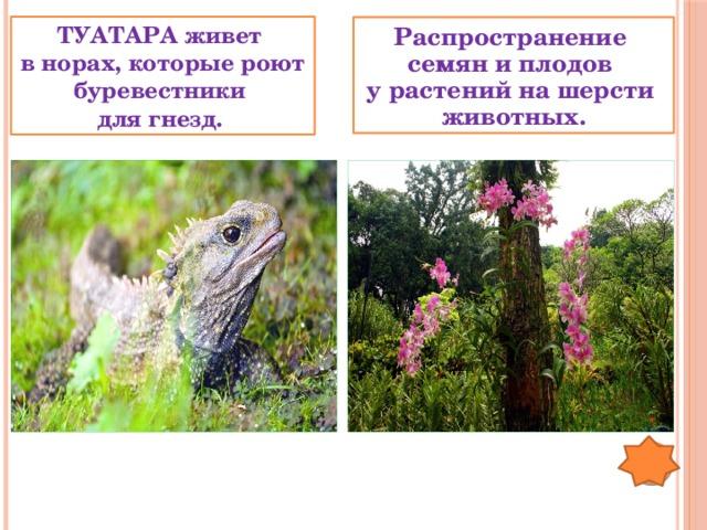 ТУАТАРА живет в норах, которые роют буревестники для гнезд. Распространение семян и плодов у растений на шерсти животных.