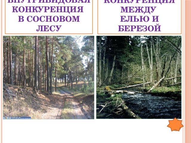 Межвидовая конкуренция между елью и березой Внутривидовая конкуренция в сосновом лесу