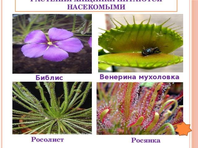 Растения хищники питаются насекомыми Венерина мухоловка Библис Росолист Росянка