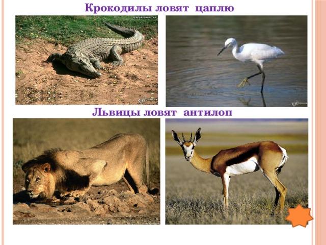 Крокодилы ловят цаплю Львицы ловят антилоп