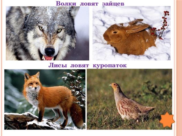 Волки ловят зайцев  Лисы ловят куропаток