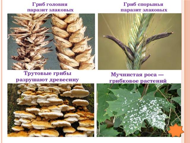 Гриб спорынья Гриб головня паразит злаковых паразит злаковых Трутовые грибы разрушают древесину Мучнистая роса — грибковое растений