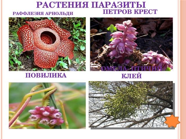 Растения паразиты Петров крест Раффлезия Арнольди Повилика Омела- птичий клей