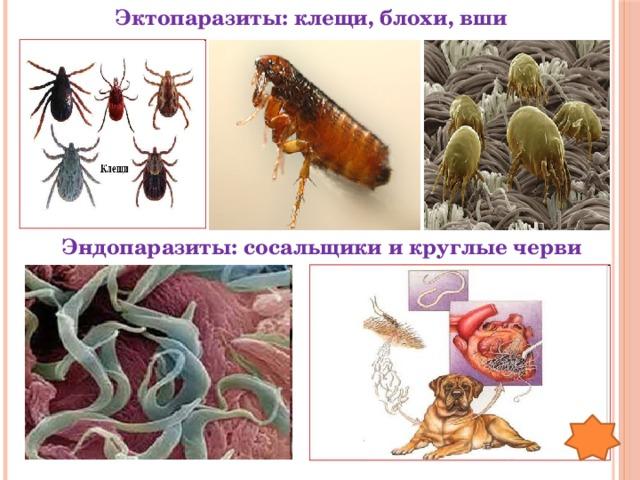 Эктопаразиты: клещи, блохи, вши Эндопаразиты: сосальщики и круглые черви