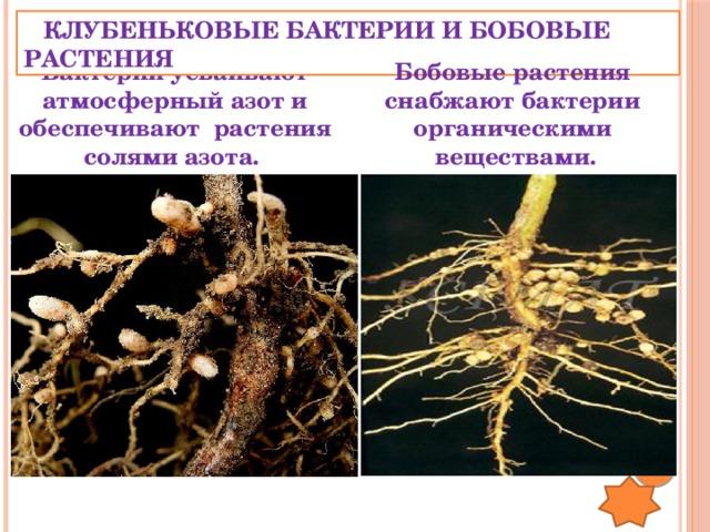 КЛУБЕНЬКОВЫЕ БАКТЕРИИ И БОБОВЫЕ РАСТЕНИЯ Бактерии усваивают атмосферный азот и обеспечивают растения Бобовые растения солями азота. снабжают бактерии органическими веществами.