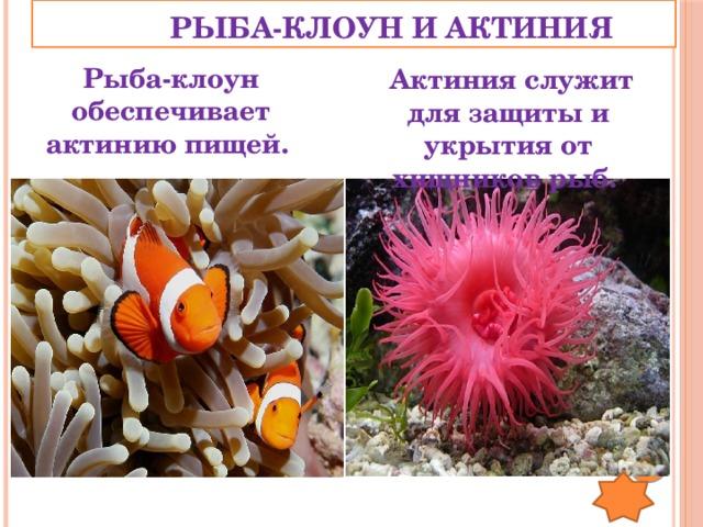 РЫБА-КЛОУН И АКТИНИЯ Рыба-клоун обеспечивает актинию пищей.  Актиния служит для защиты и укрытия от хищников рыб.