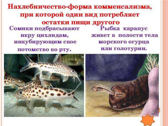 Нахлебничество-форма комменсализма, при которой один вид потребляет остатки пищи другого Сомики подбрасывают Рыбка карапус икру цихлидам,  живет в полости тела инкубирующим свое потомство во рту . морского огурца или голотурии.