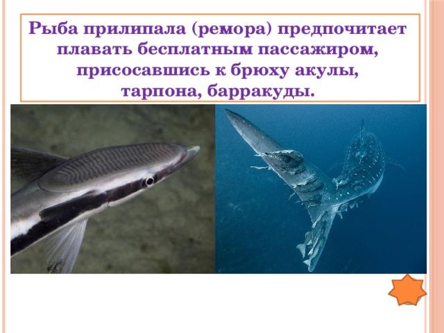 Рыба прилипала (ремора) предпочитает плавать бесплатным пассажиром, присосавшись к брюху акулы, тарпона, барракуды.