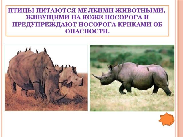 Птицы питаются мелкими животными,  живущими на коже носорога и предупреждают носорога криками об опасности.