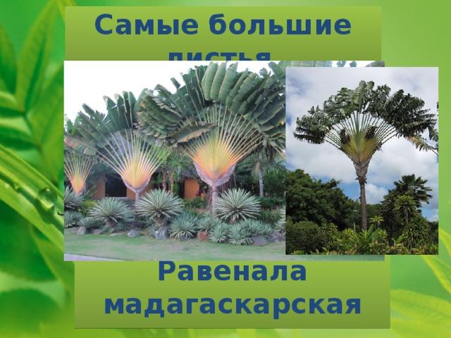 Самые большие листья Равенала мадагаскарская