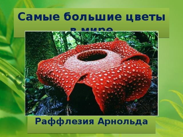 Самые большие цветы в мире Раффлезия Арнольда