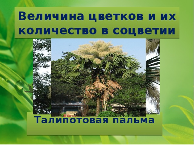 Величина цветков и их количество в соцветии Талипотовая пальма