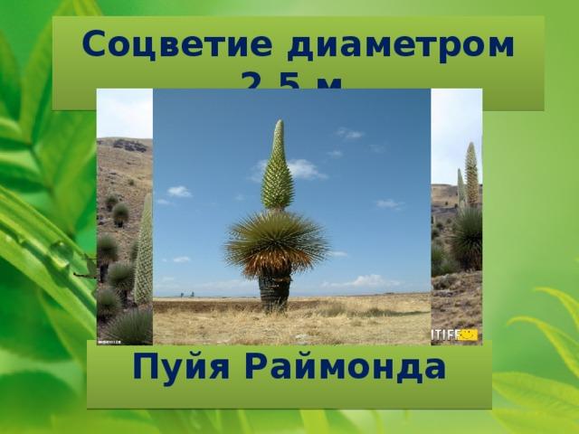 Соцветие диаметром 2,5 м. Пуйя Раймонда