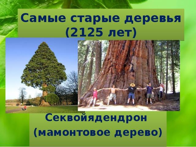 Самые старые деревья  (2125 лет) Секвойядендрон (мамонтовое дерево)