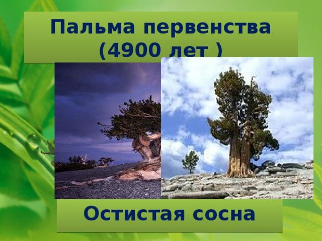 Пальма первенства  (4900 лет ) Остистая сосна