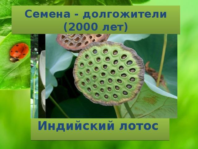 Семена - долгожители  (2000 лет) Индийский лотос