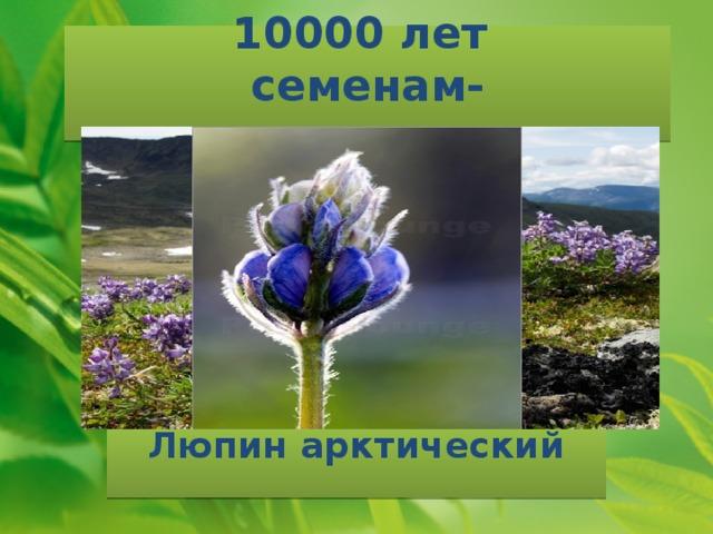 10000 лет  семенам-долгожителям Люпин арктический