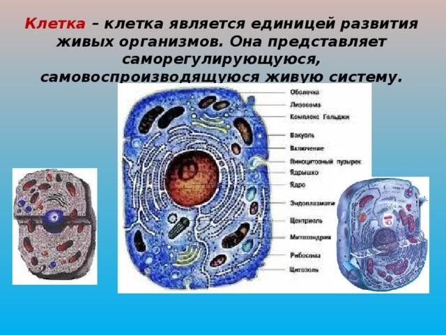 Клетка – клетка является единицей развития живых организмов. Она представляет саморегулирующуюся, самовоспроизводящуюся живую систему.