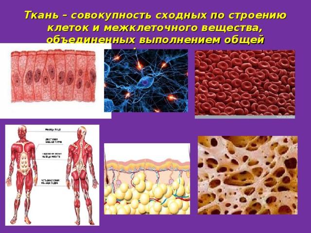 Ткань – совокупность сходных по строению клеток и межклеточного вещества, объединенных выполнением общей функции