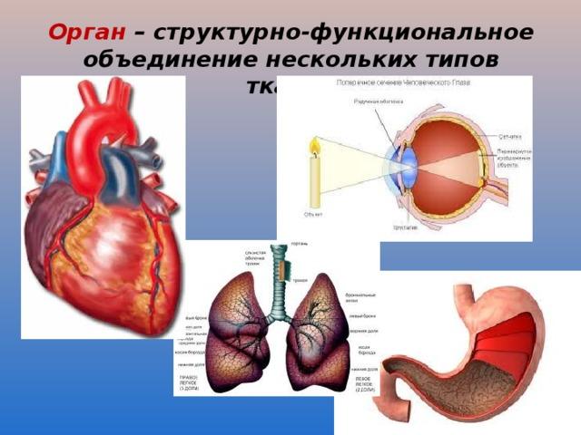 Орган – структурно-функциональное объединение нескольких типов тканей