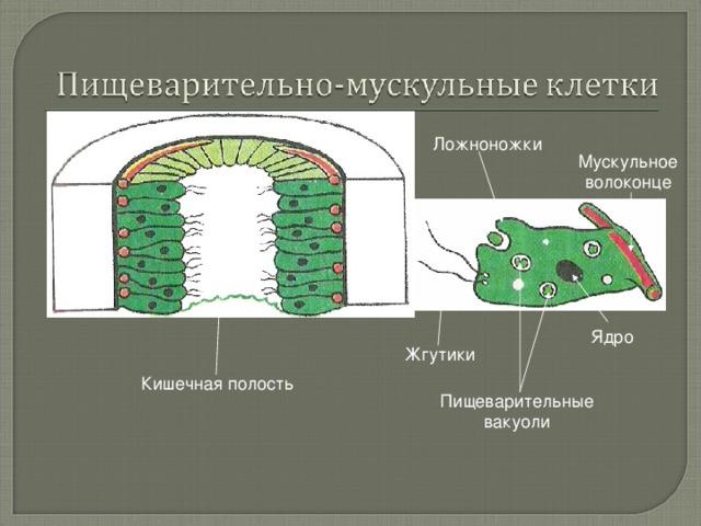 Ложноножки Мускульное волоконце Ядро Жгутики Кишечная полость Пищеварительные вакуоли