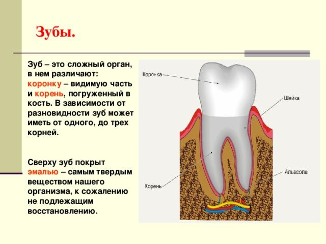 Зубы. Зуб – это сложный орган, в нем различают: коронку – видимую часть и корень , погруженный в кость. В зависимости от разновидности зуб может иметь от одного, до трех корней. Сверху зуб покрыт эмалью – самым твердым веществом нашего организма, к сожалению не подлежащим восстановлению.
