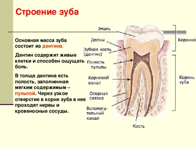 Строение зуба Основная масса зуба состоит из дентина. Дентин содержит живые клетки и способен ощущать боль. В толще дентина есть полость, заполненная мягким содержимым – пульпой . Через узкое отверстие в корне зуба в нее проходят нервы и кровеносные сосуды.