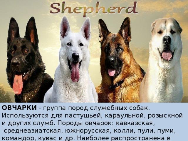 ОВЧАРКИ - группа пород служебных собак. Используются для пастушьей, караульной, розыскной и других служб. Породы овчарок: кавказская, среднеазиатская, южнорусская, колли, пули, пуми, командор, кувас и др. Наиболее распространена в мире немецкая овчарка.