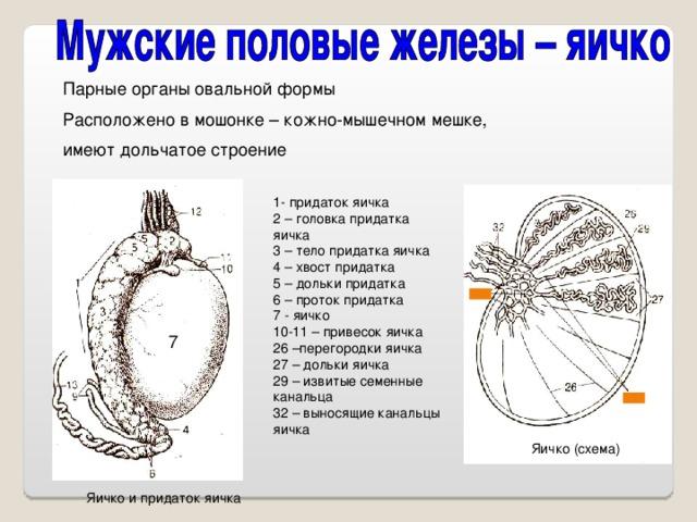 Парные органы овальной формы Расположено в мошонке – кожно-мышечном мешке, имеют дольчатое строение 1- придаток яичка 2 – головка придатка яичка 3 – тело придатка яичка 4 – хвост придатка 5 – дольки придатка 6 – проток придатка 7 - яичко 10-11 – привесок яичка 26 –перегородки яичка 27 – дольки яичка 29 – извитые семенные канальца 32 – выносящие канальцы яичка 7 Яичко (схема) Яичко и придаток яичка