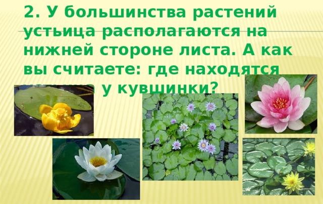 2. У большинства растений устьица располагаются на нижней стороне листа. А как вы считаете: где находятся устьица у кувшинки?